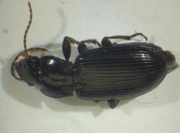 Image of <i><i>Trichotichnus</i></i> (Trichotichnus) <i>nitens</i> (Heer 1837)