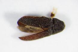Image of <i>Trixagus carinifrons</i> (Bonvouloir 1859) Bonvouloir 1859