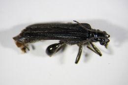 Image of <i>Oedemera tristis</i> W. Schmidt 1846