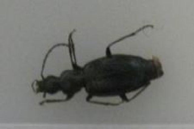 Image of <i>Agonum</i> (<i>Europhilus</i>) <i>scitulum</i> Dejean 1828