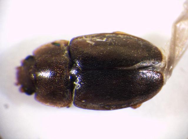 Image of <i>Epuraea binotata</i> Reitter 1872