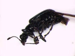 Image of <i>Deporaus mannerheimii</i> (Hummel 1823) Hummel 1823
