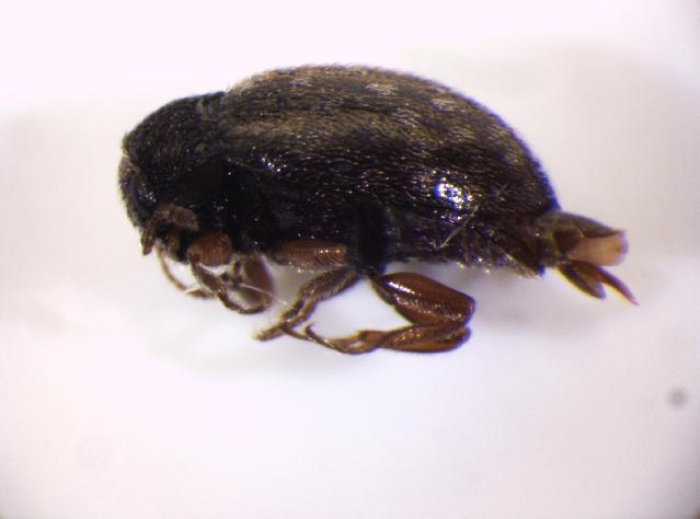 Image of <i>Simplocaria maculosa</i> Erichson 1847