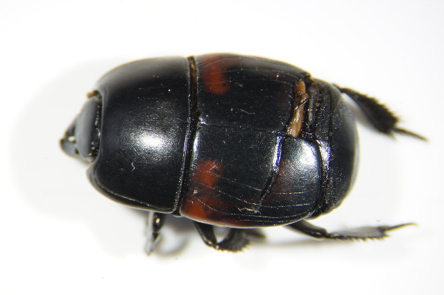 Image of <i>Hister quadrimaculatus</i> Linnaeus 1758