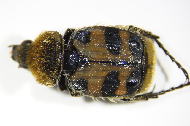 Image of <i>Trichius sexualis</i> Bedel 1906