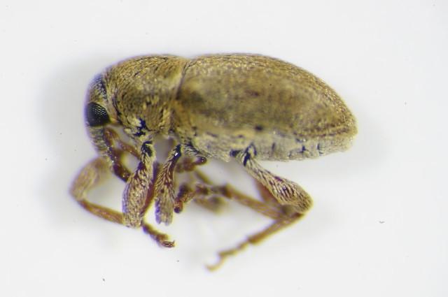 Image of <i>Tychius squamulatus</i> Gyllenhal 1835