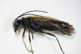 Image of <i>Oedemera subulata</i>