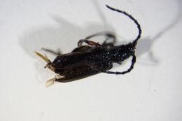 Image of <i>Ropalopus femoratus</i> (Linne 1758)