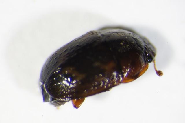 Image of <i>Cryptarcha strigata</i> (Fabricius 1787) Fabricius 1787