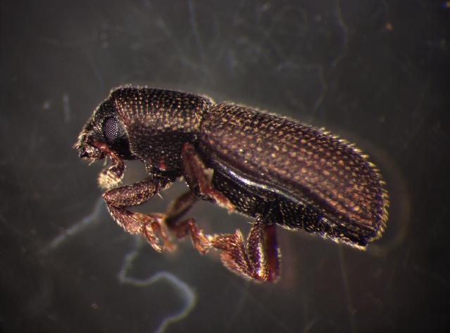 Image of <i>Hylastes attenuatus</i> Erichson 1836