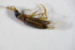 Image of <i>Perigona</i> (<i>Trechicus</i>) <i>nigriceps</i> (Dejean 1831)