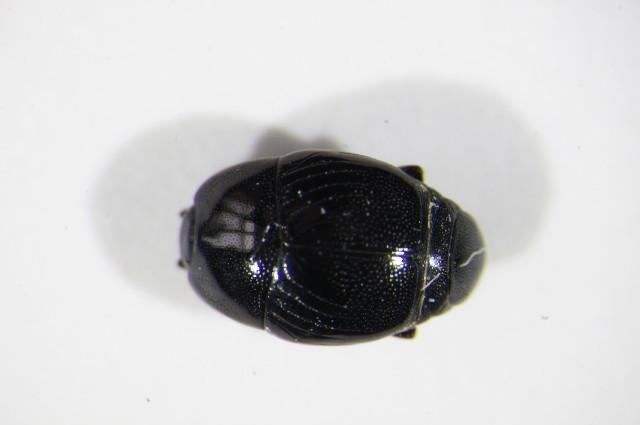 Image of <i><i>Saprinus</i></i> (Saprinus) <i>lautus</i> Erichson 1839