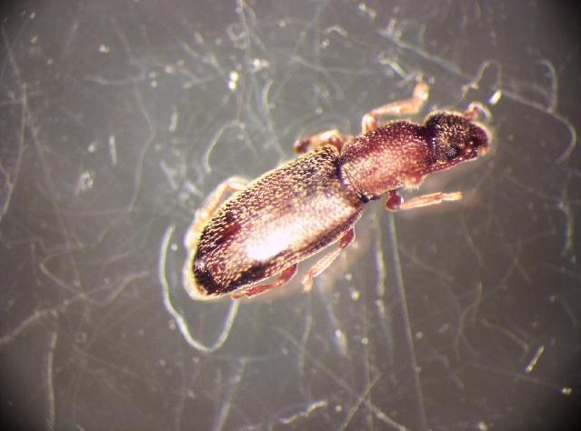Image of <i>Monotoma testacea</i> Motschulsky 1845