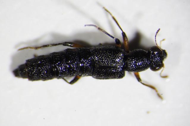 Image of <i>Stenus</i> (<i>Hypostenus</i>) <i>cicindeloides</i> (Schaller 1783)