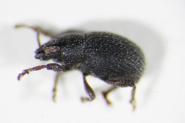 Image of <i>Peritelus leucogrammus</i>