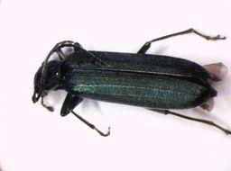 Image of <i>Ischnomera cinerascens</i>