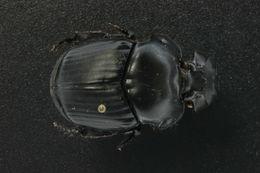 Image of Coprophanaeus