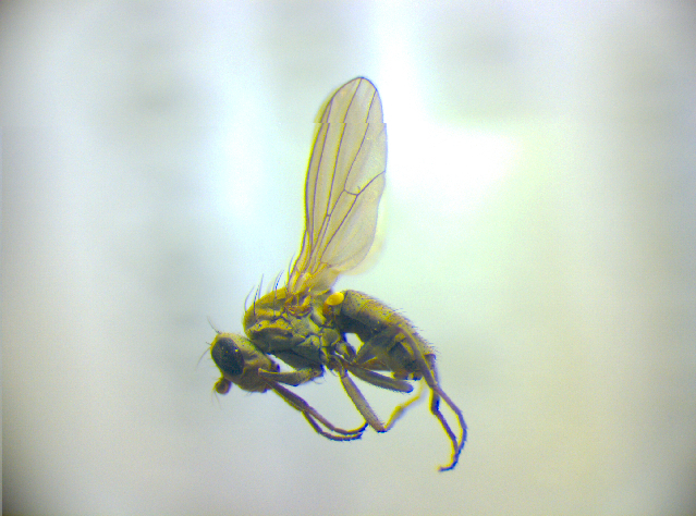 Image of Pelomyiella