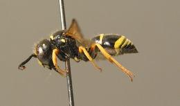 Image of <i>Gymnomerus laevipes</i> (Shuckard 1837)