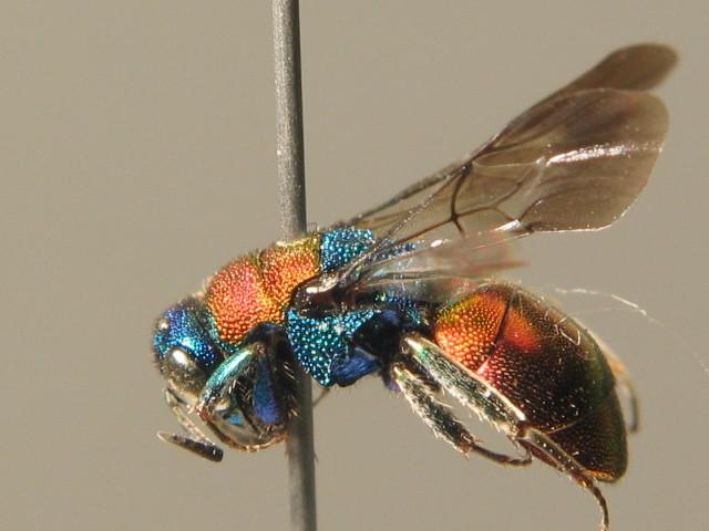 Image of <i>Hedychrum nobile</i>