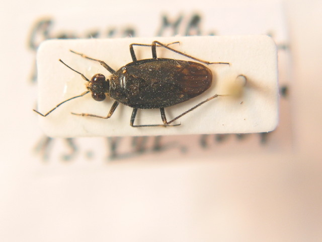 Image of <i>Macrosaldula scotica</i> (Curtis 1833)