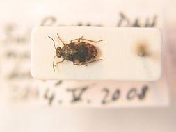 Image of <i>Saldula melanoscela</i> (Fieber 1859)