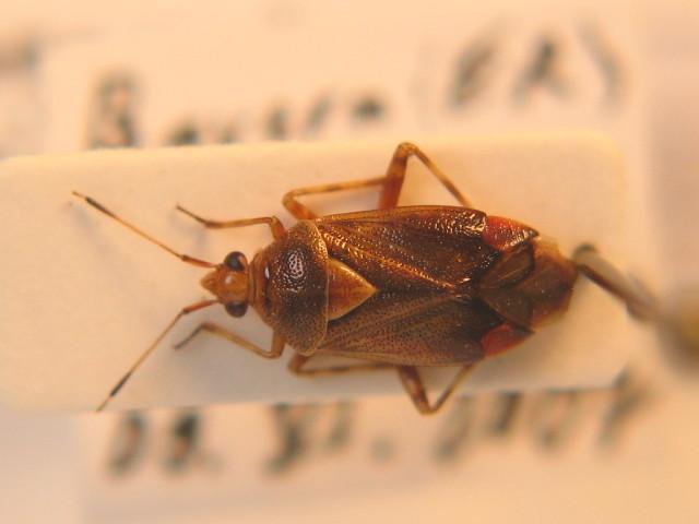 Image of <i>Deraeocoris flavilinea</i> (A. Costa 1862)