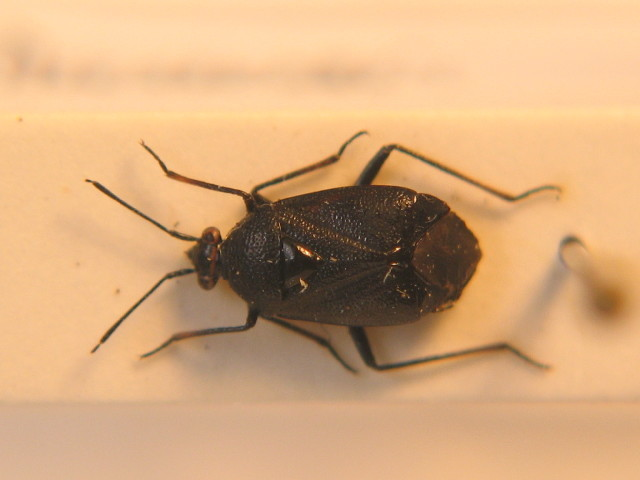 Image of <i>Deraeocoris morio</i> (Boheman 1852)