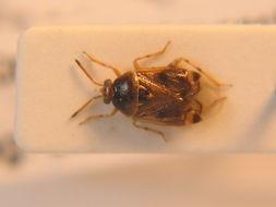 Image of <i>Deraeocoris lutescens</i> (Schilling 1837)