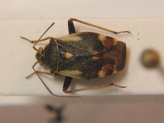 Image of <i>Polymerus palustris</i> (Reuter 1905)