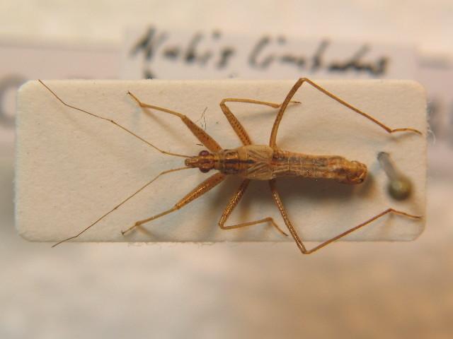 Image of <i>Nabis limbatus</i> Dahlbom 1851
