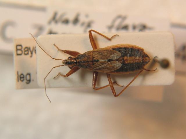 Image of <i>Nabis flavomarginatus</i>