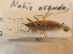 Image of <i>Nabis pseudoferus</i> Remane 1949