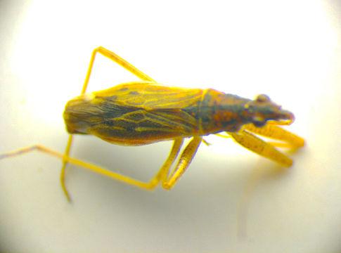 Image of <i>Nabis rugosus</i> (Linnaeus 1758) Linnaeus 1758