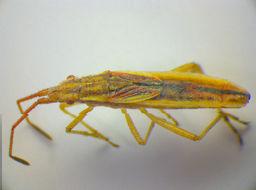 Image of <i>Myrmus miriformis</i> (Fallén 1807)