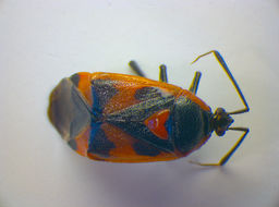 Image of <i>Deraeocoris trifasciatus</i> (Linnaeus 1767)