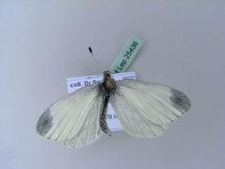 Image of <i>Leptidea juvernica</i>