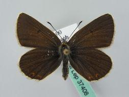 Image of <i>Eumedonia eumedon</i> (Esper 1780)
