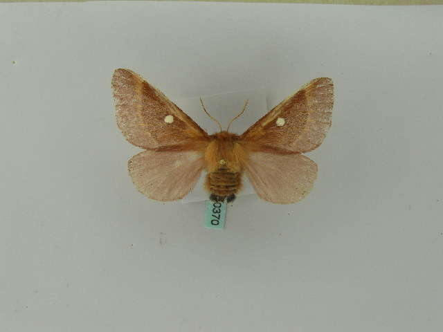 Image of Eastern Eggar