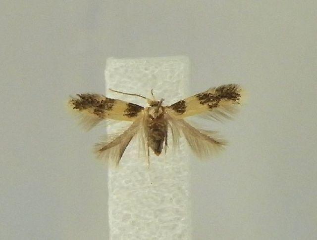Image of <i>Etainia decentella</i> (Herrich-Schäffer 1855) Beirne 1945
