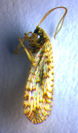 Image of Brown lacewing
