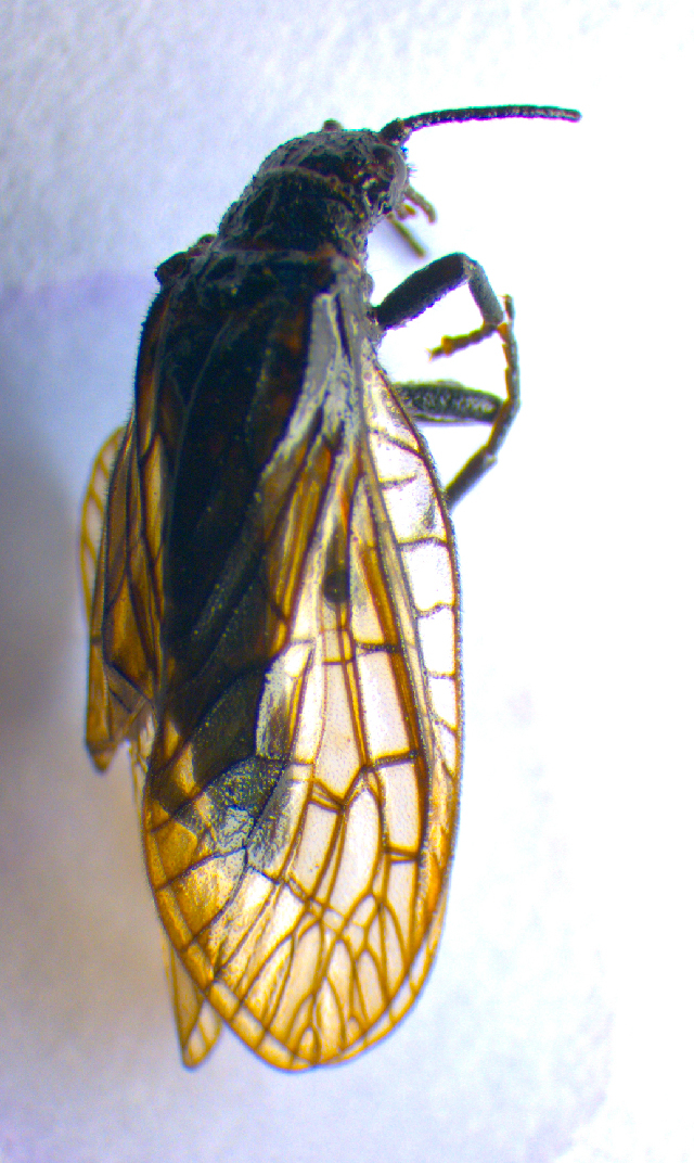 Image of Alderfly
