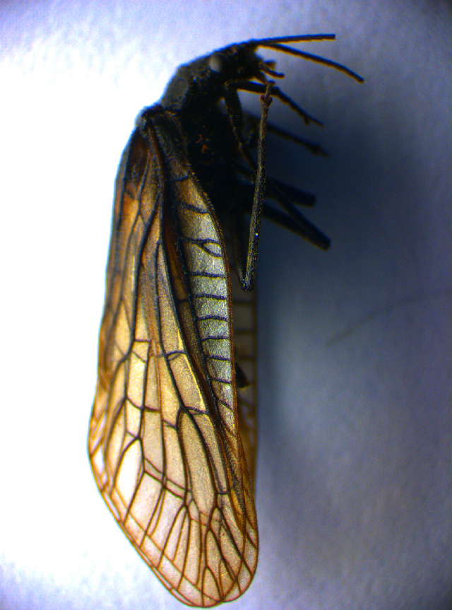 Image of <i>Sialis nigripes</i> Pictet 1865