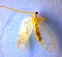 Image of <i>Hemerobius lutescens</i> Fabricius 1793