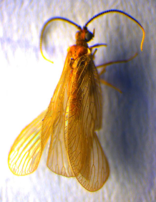 Image of <i>Sisyra terminalis</i> Curtis 1854