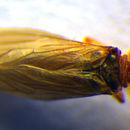 Image of <i><i>Helicoconis</i></i> (Helicoconis) <i>lutea</i> (Wallengren 1871)