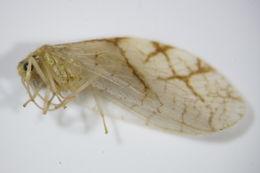 Image of <i>Micromus lanosus</i> (Zelený 1962)
