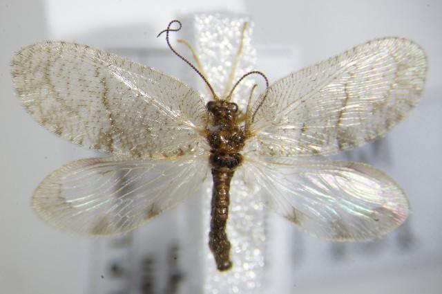 Image of <i>Megalomus hirtus</i> (Linnaeus 1761)