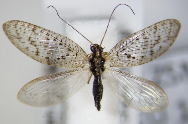 Image of <i>Hemerobius atrifrons</i> Mc Lachlan 1868