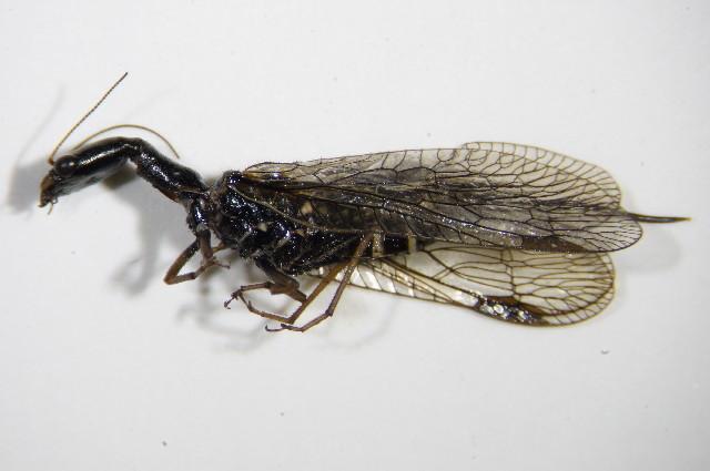 Image of <i>Phaeostigma notata</i>